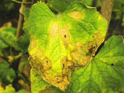 之黄瓜炭疽病及防治